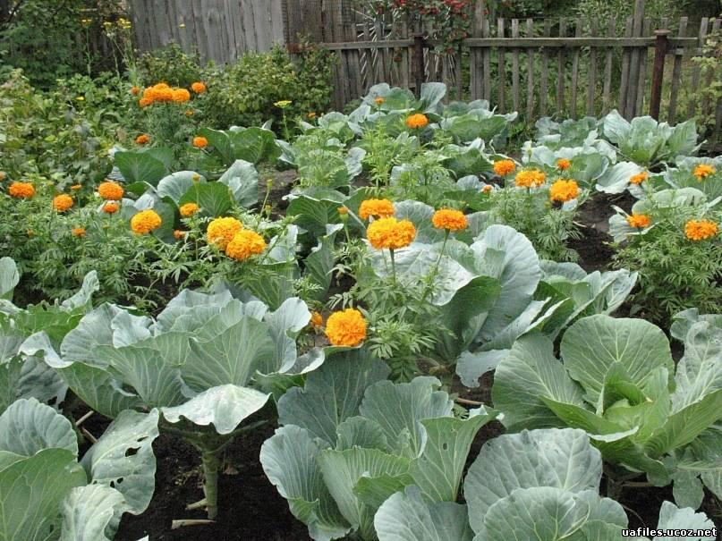 Когда сажают капусту в огород 41